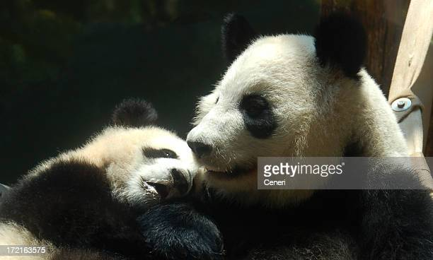 A mother panda with a baby panda cuddling her