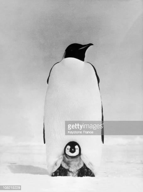 Mother Penguin Protect Her Little Baby On The Floe