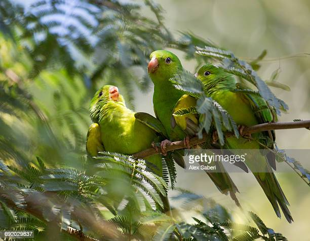 a mother plain parakeet, brotogeris tirica, feeds her offspring in the atlantic rainforest.  - alex saberi stock pictures, royalty-free photos & images