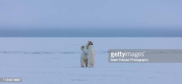 mother polar bear and cub dance on an ice floe - dancing bear immagine foto e immagini stock