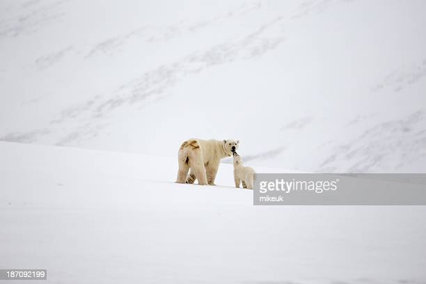 mother polar bear and cub in Svalbard