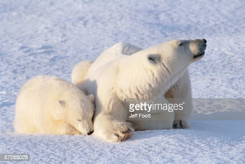 mother polar bear and cub laying down ursis maritimus canada stock photo getty images