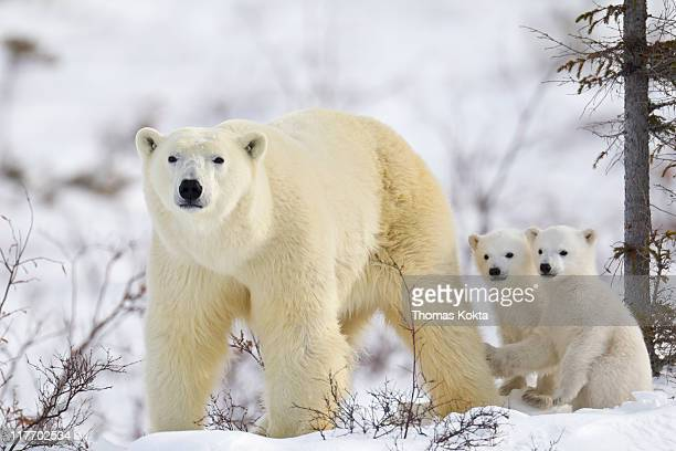 Mother polar bear and cubs (Ursus maritimus)