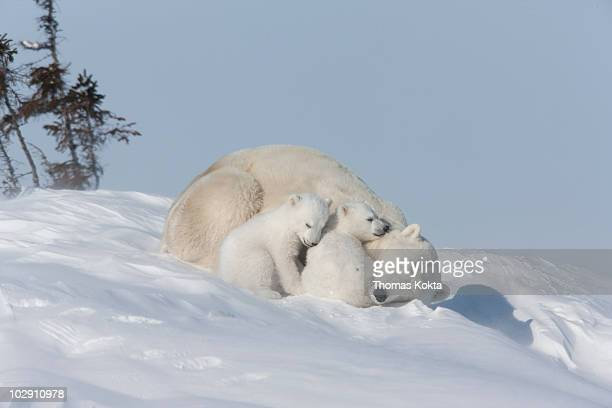 Mother polar bear and cubs sleeping in the snow