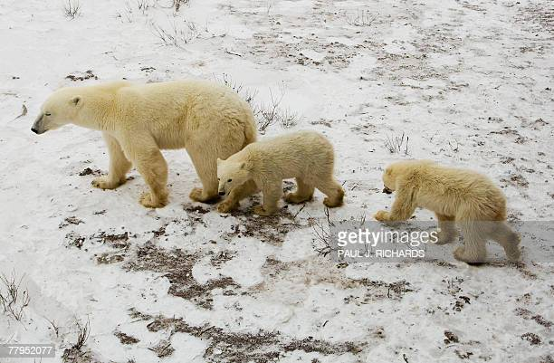 A mother Polar Bear and her cubs wait on the tundra next to the Hudson Bay 14 November 2007 outside Churchill Mantioba Canada Polar Bears return to...