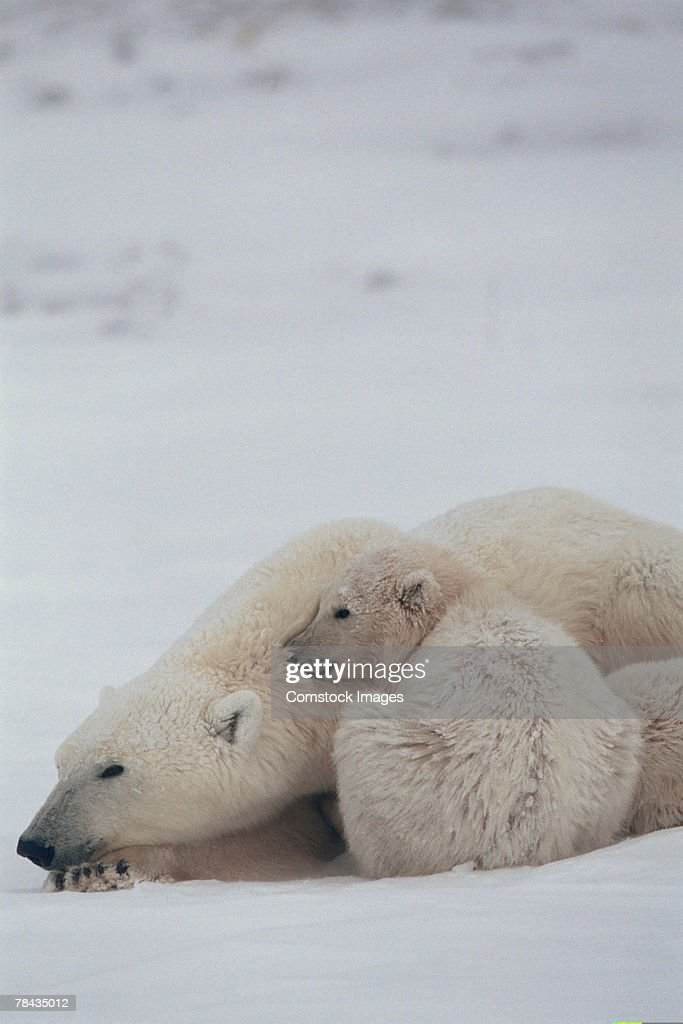 Mother polar bear nestling with cub , Canada : Stock Photo