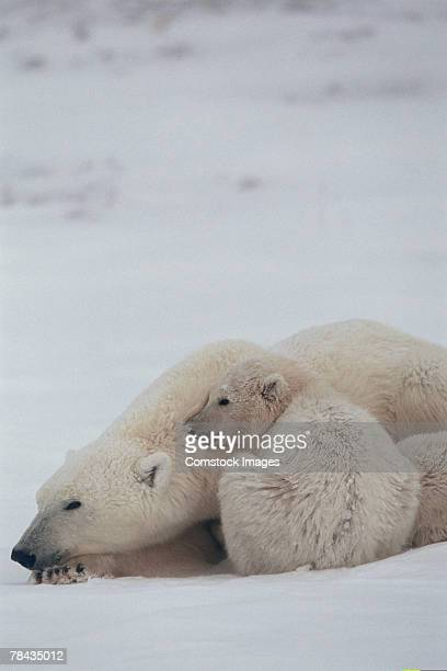 mother polar bear nestling with cub , canada - cub stock pictures, royalty-free photos & images