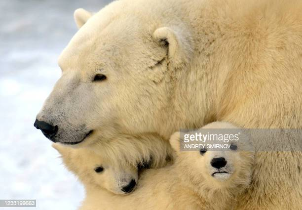 Mother polar bear plays with two of her three cubs born in last November, at the Moscow Zoo, on March 22, 2012. AFP PHOTO / ANDREY SMIRNOV