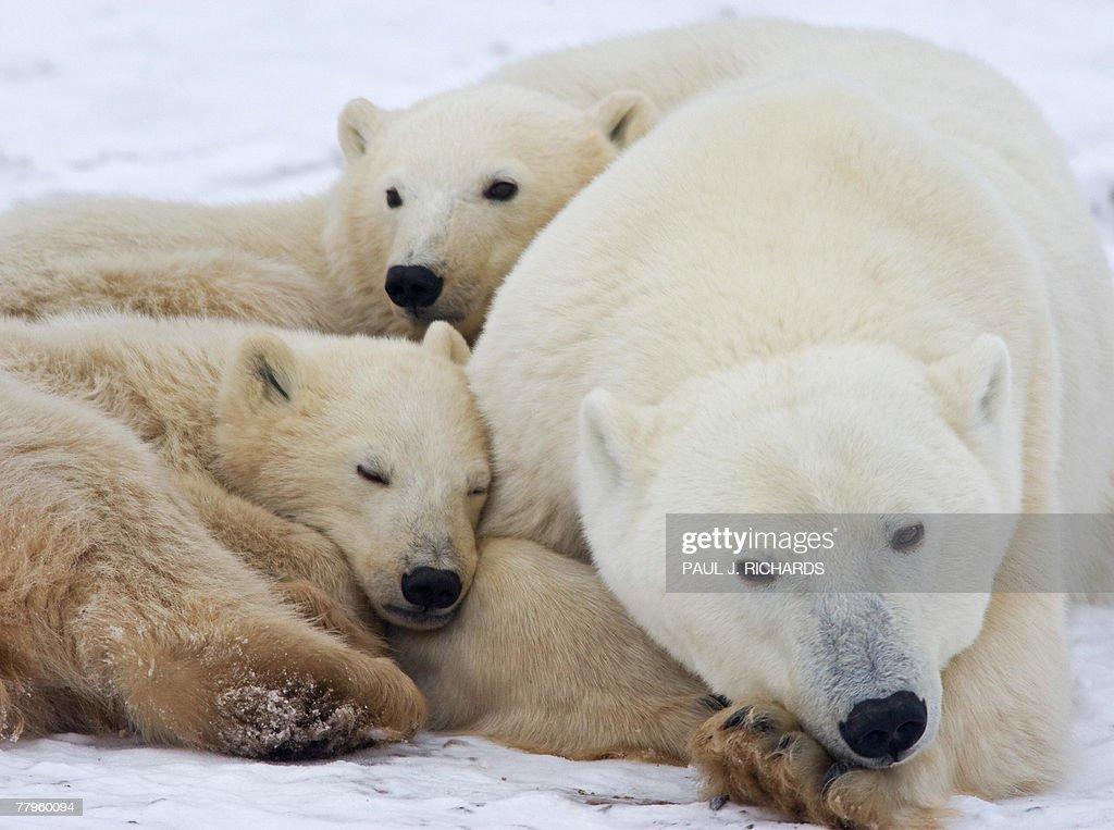 A mother Polar Bear sleeps on the frozen : News Photo