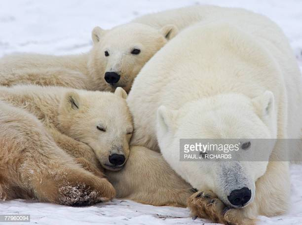 A mother Polar Bear sleeps on the frozen tundra with her cubs waiting for the Hudson Bay to freeze over 13 November 2007 outside Churchill Mantioba...