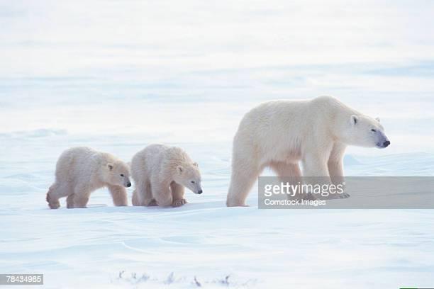 Mother polar bear walking with cubs , Canada