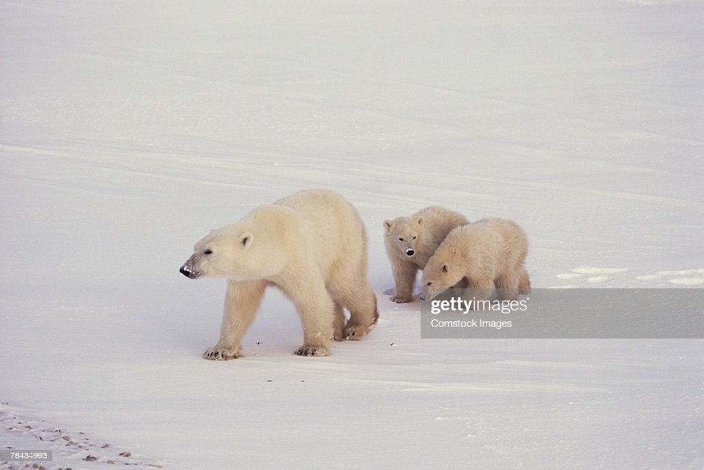 Mother polar bear walking with cubs , Canada : Stockfoto