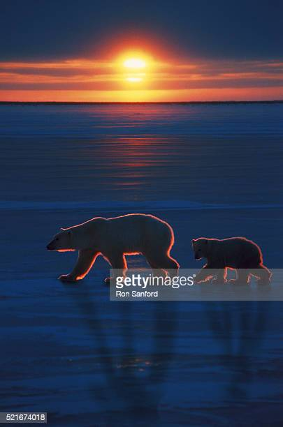 mother polar bear with cub - cub stock pictures, royalty-free photos & images