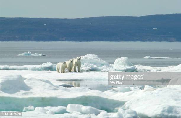 Mother Polar Bear with cubs on ice in sub-arctic Wager Bay near Hudson Bay, Churchill area, Manitoba, Northern Canada