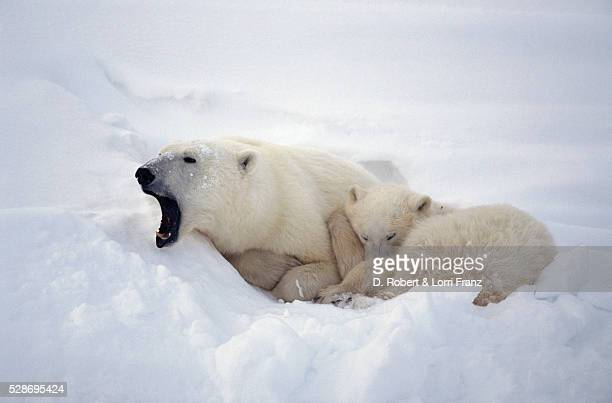 Mother Polar Bear Yawning by Cub