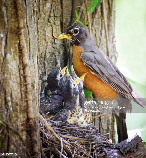 Mother Red Breasted Robin Feeding Her Young