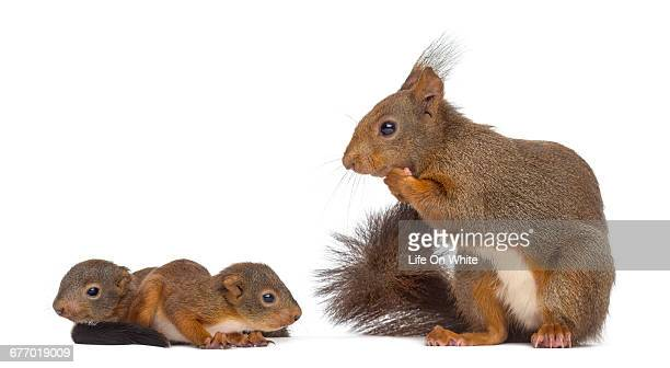 Mother Red squirrel and babies