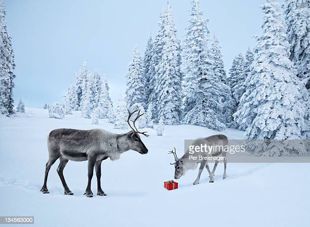 mother reindeer with her baby and a xmas gift - rentier stock-fotos und bilder