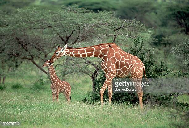 Mother Reticulated Giraffe With Calf