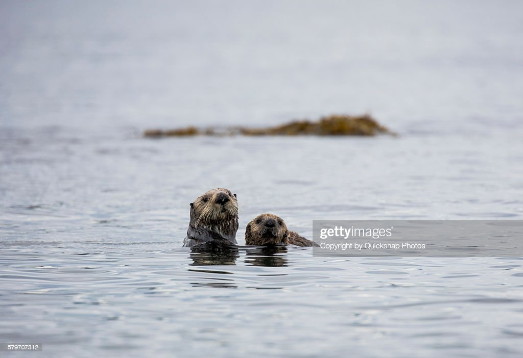 Mother sea otter and her pup : Foto de stock