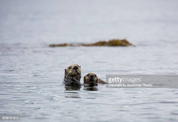 mother sea otter and her pup - sea otter stock photos and pictures