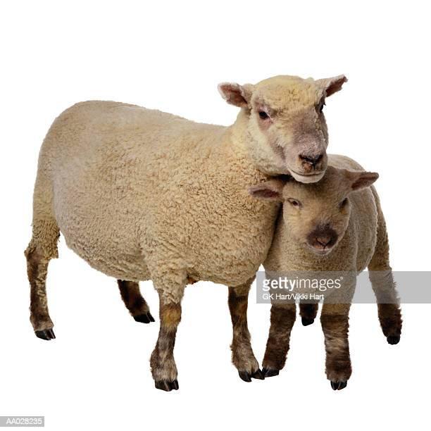 Mother Sheep and Baby Lamb