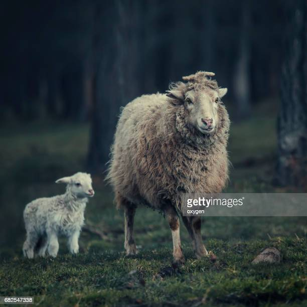 Mother sheep and her lamb in a forest