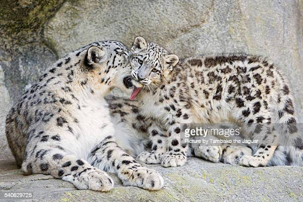 Mother snow leopard licking her cub