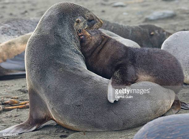 Mother southern fur seal nuturing her young