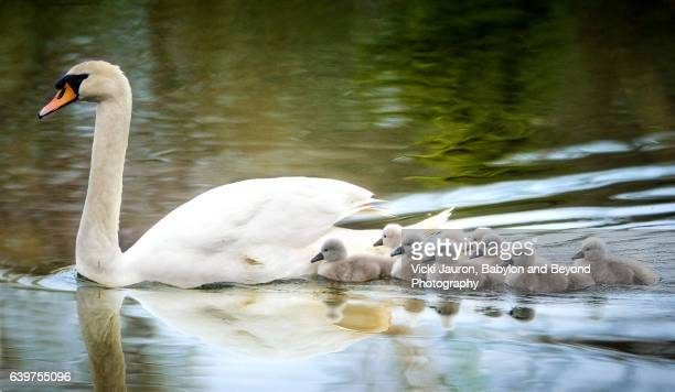 mother swan on family swim with newborn cygnets - swan stock pictures, royalty-free photos & images