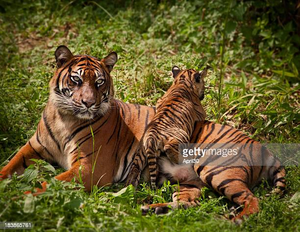 Mother Tiger
