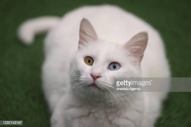 Mother Van cat is seen after she gave birth in Van, Turkey on April 06, 2021. Van cats kept under protection at the Van Yuzuncu Yil University...