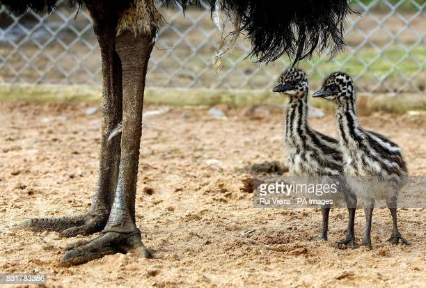 Mother Vera stands over two of her three newborn emu chicks at Drayton Manor Theme Park in Tamworth