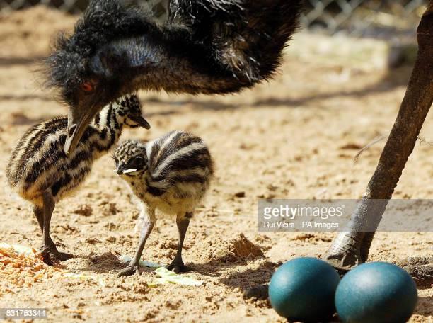Mother Vera with two of her three newborn emu chicks at Drayton Manor Theme Park in Tamworth