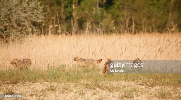 mutter wilder goldenjackal, canis aureus, mit drei gut gewachsenen jungen am frühen morgen, donaudelta biosphärenreservat, ostrumänien - säugetier stock-fotos und bilder