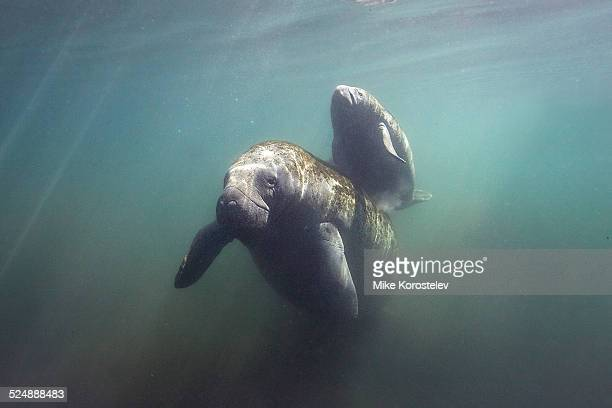 mother with baby - florida manatee stock pictures, royalty-free photos & images