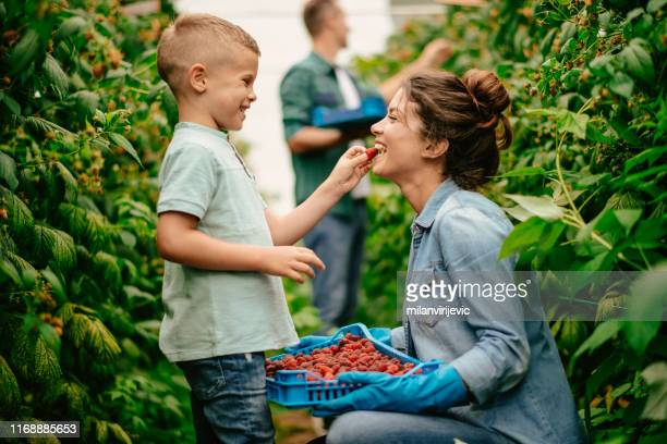 mother with son at raspberry farm - picking harvesting stock pictures, royalty-free photos & images