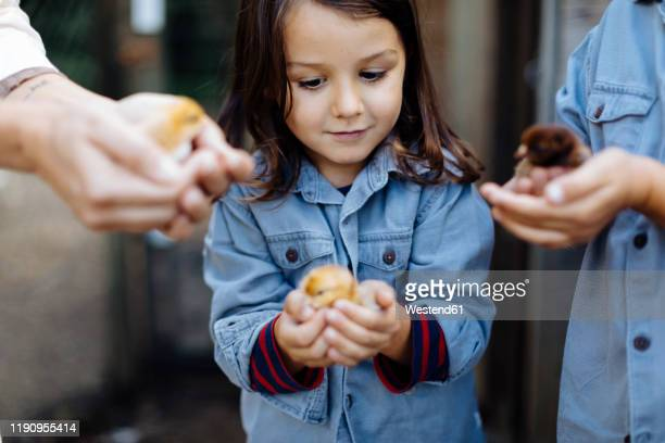 mother with two kids holding chicks on an organic farm - organic farm stock pictures, royalty-free photos & images