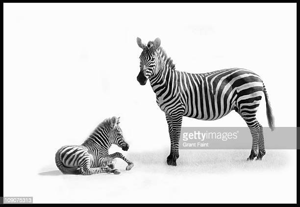 mother zebra with fold. - zebra stock pictures, royalty-free photos & images