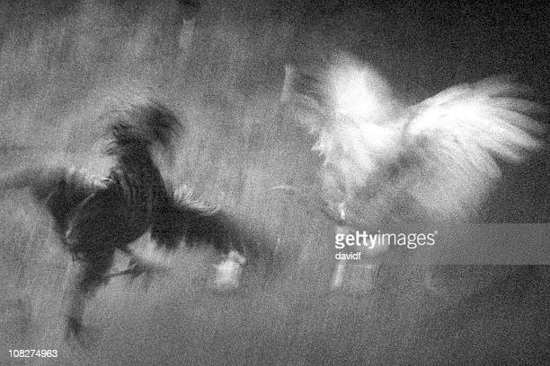 Motion Blur of Cockfight, Black and White