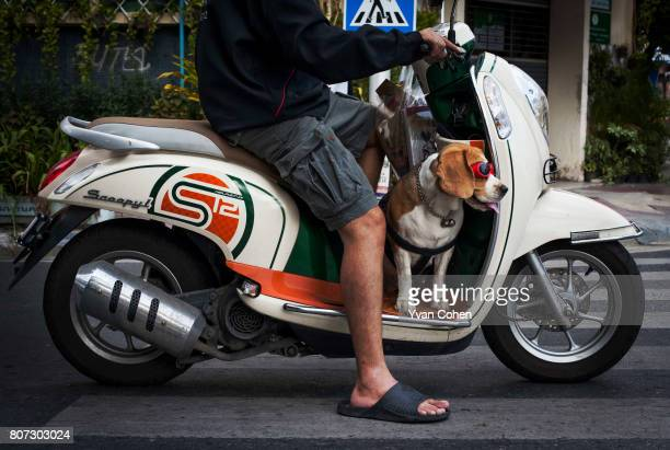A motorcyclist in Bangkok carries his pet Beagle who sports bright red sunglasses as a passenger on this motorcycle