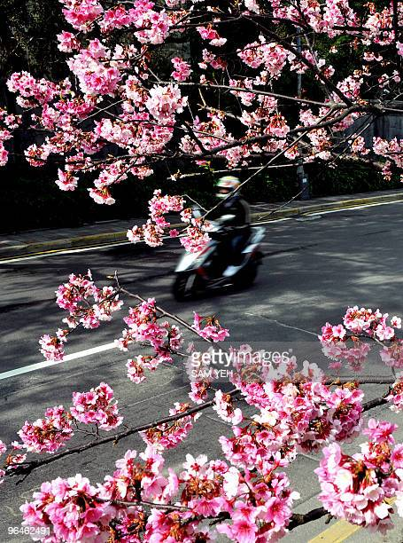 A motorist drives past a blossoming cherry tree in Taipei on February 4 2010 Cherry blossoms in Taiwan have begun to bloom earlier than the normal...