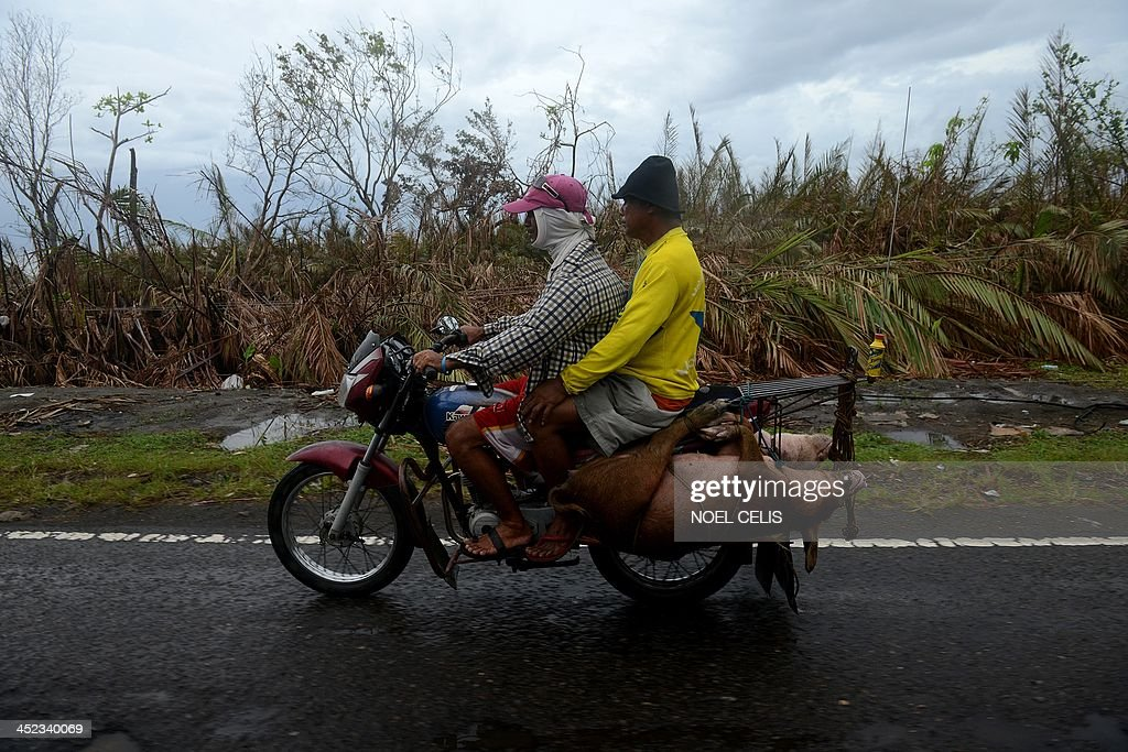 Motorists carry pigs tied on a motorcycle in Palo, Leyte province on November 28, 2013.The Philippines' economy expanded 7.0 percent year-on-year in the third quarter, but a series of storms curbed growth and a devastating typhoon this month will slow momentum further, the government said on November 28.