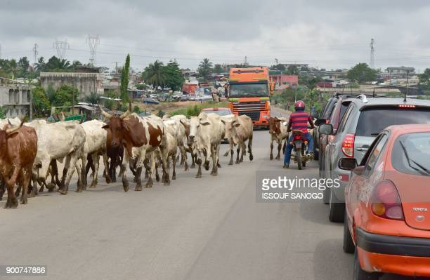 Motorists wait as cows cross a road in Abobo a suburb of Abidjan on January 3 2018 / AFP PHOTO / ISSOUF SANOGO