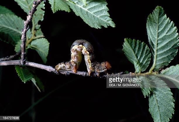 Mottled umber caterpillar Geometridae