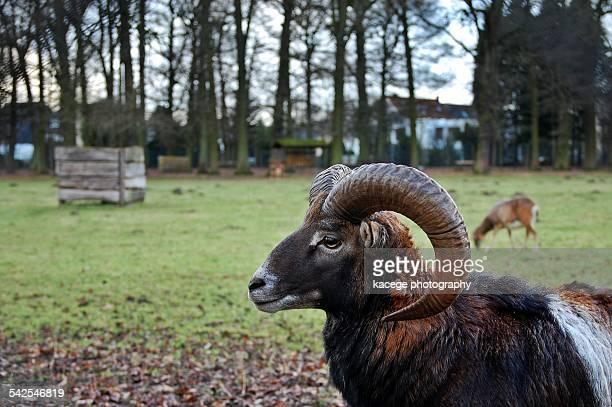 Moufflon ram