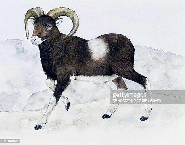 Mouflon Bovidae drawing