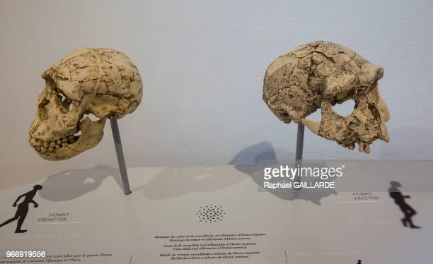Moulages de crânes d'un homo ergaster et d'un homo erectus exposés au Musée de l'Homme le 17 octobre 2015 Paris France