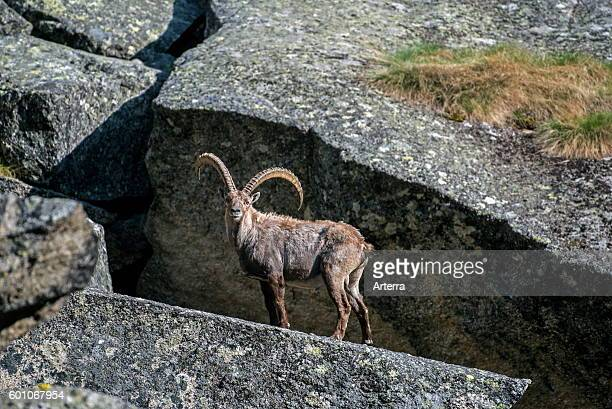 Moulting Alpine ibex in mountain rock face in the Alps in spring