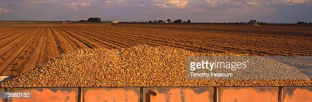 Mound of peanuts in wagon with plowed field in background